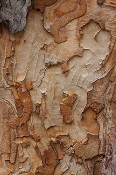 Eucalyptus bark3 by kasia-aus, via Flickr
