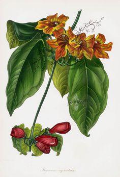 Joseph Paxton Antique Print 1834  Bignonia Capreolata, Crossvine