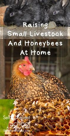How to raise small livestock and honeybees in an urban setting for self reliance. #beselfreliant:
