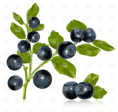 blueberry clip art | Blueberry twig with leaves, download royalty-free vector clipart (EPS)