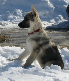silver sable german shepherd puppies | Zoe Fans Blog