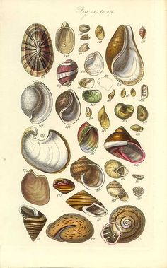 Antique print picture of Bubble (Bulla) and Sea Butterfly (Limacina) shells