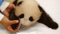 Pairi Daiza maakt morgen de naam bekend van de babypanda die op 2 juni werd geboren. Ook bezoekers en fans mochten hun voorkeursstem uitbrengen.Het dierenpark kwam eind augustus met een lijst van vijf namen en lanceerde daarna een poll op haar website en Facebookpagina. Bezoekers en fans konden er hun voorkeursstem uitbrengen.