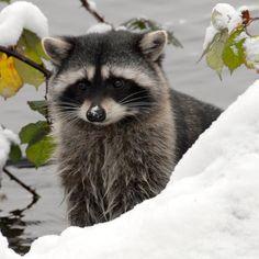 **Winter raccoon