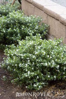 white cuphea -