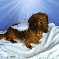 Bruno.Shortfoot on instagram #dachshund #doxie #brunoshortfoot #dogsincostumes #christmas #angel