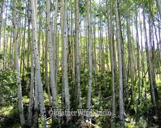 Tall Aspen Trees Photography  Wooded Colorado by FeatherWindStudio