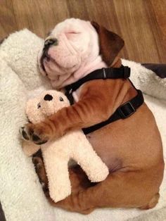 This little puppy stayed home: | 20 Puppies Cuddling With Their Stuffed Animals During Nap Time: