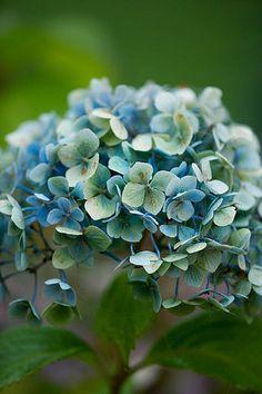 Blue flower of hydra