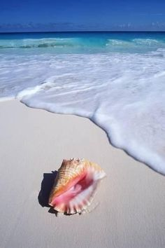 Finding shells along the shoreline is a fun way to pass the time. If you're lucky enough to find one of these you should try seeing how many varieties you can collect! Photo -Mexico, Yucatan Peninsula, Carribean Beach at Cancun, Conch Shell on Sand. Beach Pink, Ocean Beach, Shell Beach, Ocean Sunset, Orange Beach, Summer Beach, Beach House Colors, Beach Aesthetic, I Love The Beach