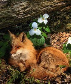 Fox & Trilliums