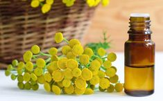 Blue Tansy Essential Oil Benefits, Properties and Uses - EverPhi Blue Tansy Essential Oil, Blue Tansy Oil, List Of Essential Oils, Essential Oil Uses, Oil Benefits, Health Benefits, Organic Oil, Bath And Body, Herbs