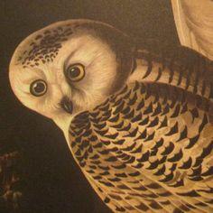 Vintage Bird Illustration - Audubon Book Plate - Snowy Owl
