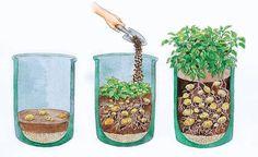 Befüllen Sie das Pflanzgefäß mit Kies und Blumenerde und legen Sie darauf die Pflanzkartoffeln aus (links). Füllen Sie regelmäßig Erde nach (Mitte), bis das Gefäß voll ist. Nach 100 Tagen sind die Kartoffeln erntereif (rechts)