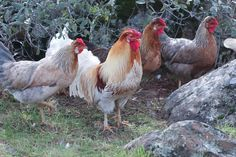 Icelandic Flock at The Egg Farm ( notice the strippling of feathers on his shanks)