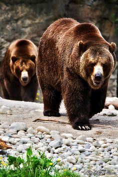 Grizzly Bears on a walkabout...notice how very shiny their coats are !!!!!!!!