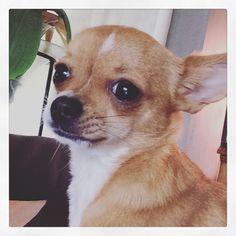 Vienna Chihuahua kortharig | Pawshake