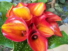 Bellisimas calas de colores para el ramo de la novia