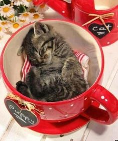 """Kitten in a cup -awww...he can't read his cup; or he thinks he's a """"puppy"""". Sweetie.  :0)"""
