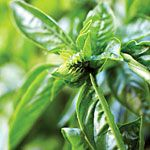 9 indispensable herbs  How to grow basil, cilantro, chives, and more essential culinary herbs
