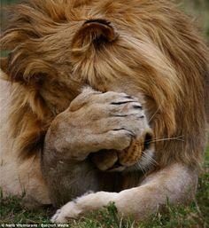 LION OF RWANDA