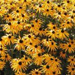 WEEDS–The Easiest Plants to Grow - Black Eyed Susan
