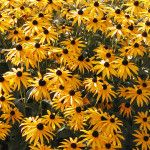 WEEDS–The Easiest Plants to Grow - Black Eyed Susan