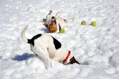 typical Jack Russell Terriers