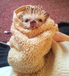 An evil, half-vampire hedgehog warming up after a long night of terrorizing the living: | 30 Animal Pictures That Will Make You A Better Person