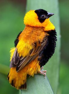 Weaver called a Bishop - it could be the Orange (Euplectes franciscanus) or Red (E. orix), both from Africa, In the breeding season the males are bright scarlet, and become this golden yellow colour in the non-breeding season.