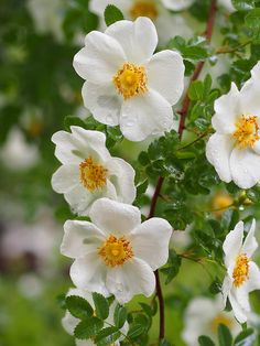 Rosa spinosissima - Species, white, single, before 1600, rated 8.4 (excellent) by ARS.
