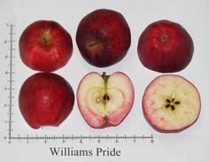 apfelbaum elstar apple