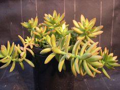 Items similar to Sedum Nussbaumeranum Live Succulent Plant on Etsy Small Cactus Plants, Cacti And Succulents, Echeveria, White Flowers, Beautiful Flowers, Succulent Species, Plant Information, Cactus Y Suculentas, Succulent Terrarium