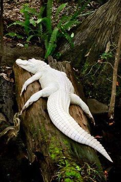 One of 12 rare white albino alligators in the world. The only pigment is around the mouth and parts of the tail. Surreal.