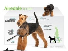 Revire-of-Airedale-Terrier.jpeg (480×360)