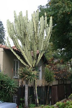 Largest Euphorbia ammak variegata in Berkeley? | Flickr - Photo Sharing!