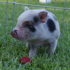 Carolina Mini Pig - Austin (AMPA) Mini Pigs For Sale, Juliana Pigs, Pets, Happy, Animals, Animales, Animaux, Ser Feliz, Animal