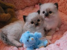 Two Seal Mitteds - Ragdoll kittens