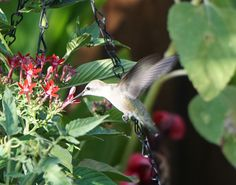 Hummingbird nectaring on flowers