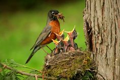 Robin and chicks. North-American Robin, Feeding Young (photo from public domain); Posted by: Big Bird Love Birds, Beautiful Birds, Birds Photos, Mother And Baby Animals, American Robin, Humming Bird Feeders, Backyard Birds, All Gods Creatures, Fauna