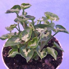 Syngonium p. Mini Pixie - The Violet Barn - African Violets and More