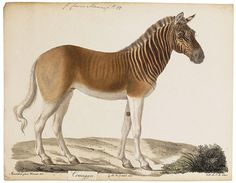 """The Quagga was a plains zebra living in South Africa. The last Quagga was killed by hunters in 1878. This species was then added to the long list of extinct animal species. Fortunately, there was one specimen still alive at Artis zoo [Amsterdam]. After its passing away on 12 August 1883, the Quagga disappeared forever from the Earth's surface. The above print is now preserved in the zebra enclosure of that time."""