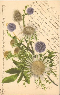 OLD POSTCARD GERMANY HUNGARY Dipsacaceae FLOWER TEASEL DIPSACUS 1910s UP 329