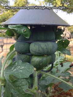 Watermelon growing in light fixture!!!