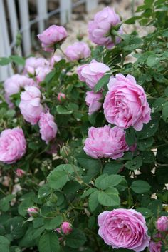 damask rose smell divine <3
