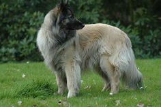 My very sweet Belgian Shepherd  (Tervueren) dog became 15 years old