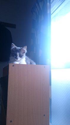 #Cats  #Cat  #Kittens  #Kitten  #Kitty  #Pets  #Pet  #Meow  #Moe  #CuteCats  #CuteCat #CuteKittens #CuteKitten #MeowMoe      ラプ、生後7ヶ月の由緒正しき雑種娘です( ˘ω˘ ) (@79647956)さんより  #CuteCats...   https://www.meowmoe.com/35867/