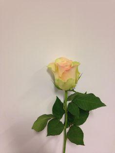 Norsk navn: Rose Botanisk navn: Rosa