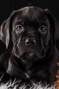 Cane Corso Dog Puppy Hd Corso Dog Cane Corso Dog Animal Planet