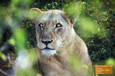 Beautiful Lioness Relaxing in the Brush